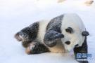 雪地里打滚的大熊猫