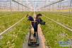"""看博山特色农业如何与世界""""对话"""" 小桔梗""""洋人""""餐桌"""