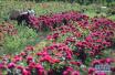 无花情人节咋过?花期延后花卉减产 想送玫瑰恐怕不好买