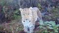 焦作山中频繁出现野生金钱豹 还发现了傻狍子