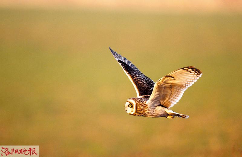 洛阳发现这种鸟 轰动全国观鸟圈