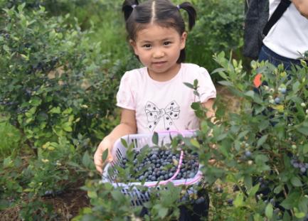蓝莓熟了引客来