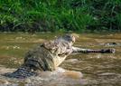 鳄鱼捕食猎物画面