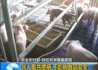 全国确诊第10起!安徽凤阳县发生非洲猪瘟:发病62头死亡22头