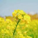 10多万亩油菜花即将盛放