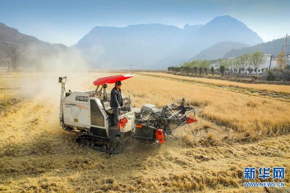河南安阳:前峪村的水稻丰收了