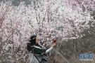 三门峡:桃花谷里花正香