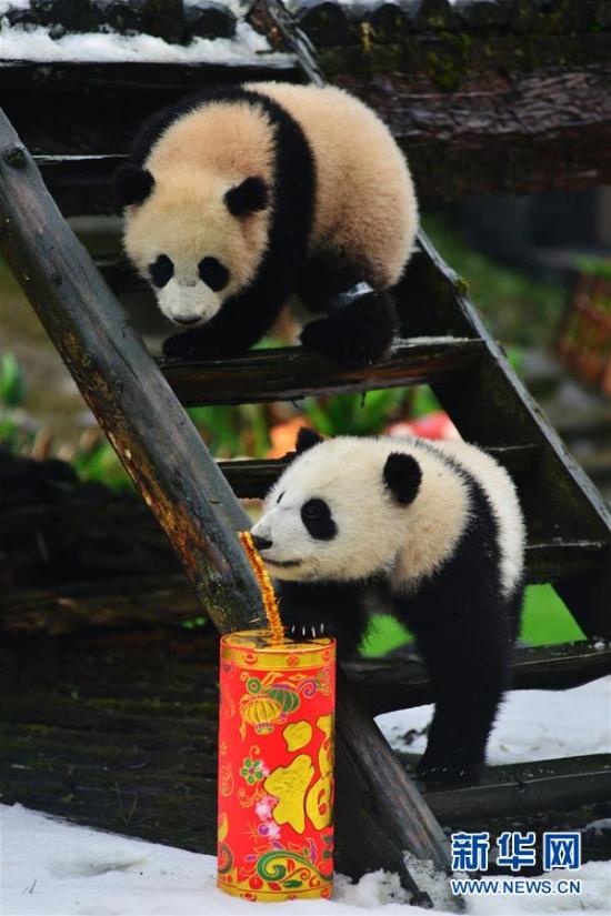 (社会)(1)大熊猫宝宝迎新年