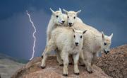雷电交加:小山羊受惊挤作一团