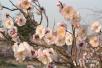 娇嫩欲滴含苞待放 青岛梅园周末迎盛花期