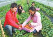 河南光山:种植新品种草莓增产明显富农家