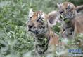 野化困难,栖息地破碎……失落的华南虎能否重返山林?