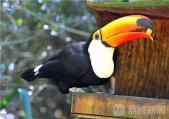 嘴巴占据身体1/3 南美洲巨嘴鸟飞来南京