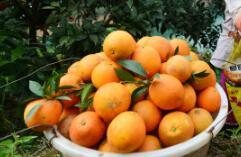 冬日脐橙采摘忙