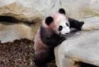 """大熊猫宝宝""""圆梦"""""""