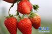 储藏食品注意啥?山东发布春节饮食提示 草莓应一天内吃完