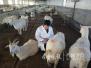"""青岛有个博士""""羊倌"""" 扎根农村4年探索养殖技术"""