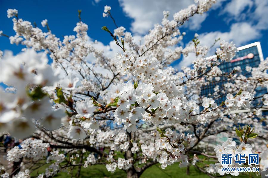 立陶宛首都樱花盛开