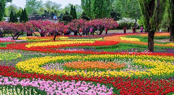 北京植物园郁金香娇艳欲滴 众多游客前来拍照