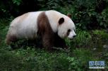 我国圈养大熊猫已达518只 58只在外参与国际研究
