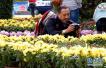 第十一屆王城金秋菊展將亮相 數萬盆菊花露芳容