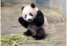 安倍访华拟与中国商量租借大熊猫 场馆已提前找好