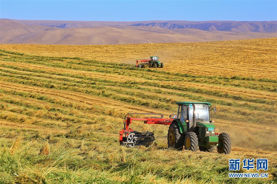 10月29日,甘肃山丹马场农民驾驶机械打捆、拉运燕麦草。 新华社发(王超 摄)