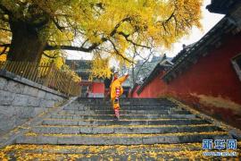 初冬时的少林寺:几株千年古银杏树一片金黄