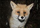 小狐狸严冬觅食困难