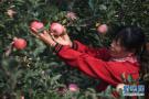 """河北景县:""""三优""""苹果助农增收"""