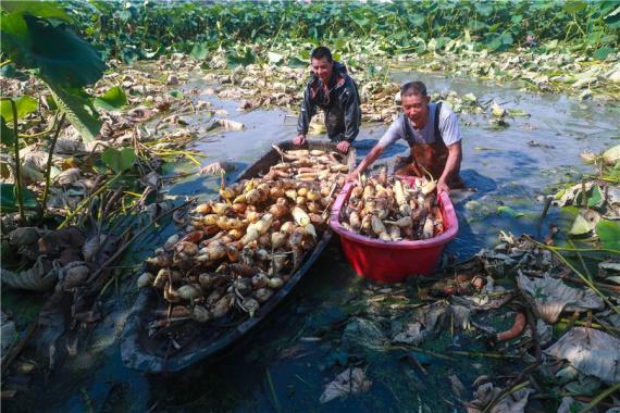 河南光山:蓮藕喜獲豐收