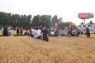 河南滑縣:大力發展優質小麥 扛穩糧食安全重任