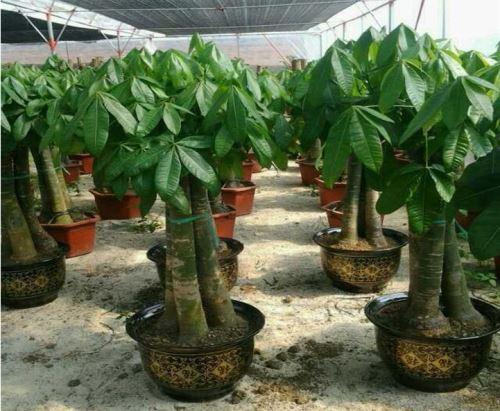 适合室内养殖的大型植物盆栽推荐