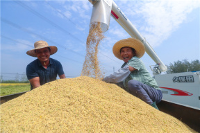 河南光山:稻谷丰收 喜上眉梢