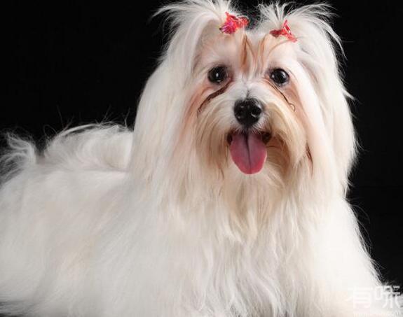 出相当奇特的发型,狮子狗还是非常聪明而温和的狗狗图片