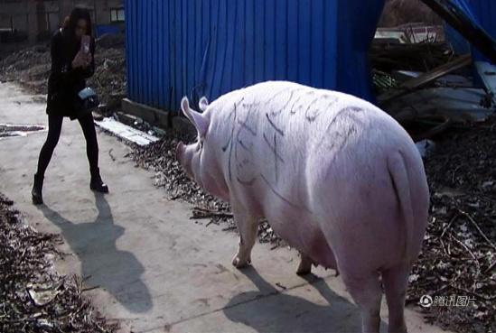 美女 郑州/托着人的大肥猪,不但走动灵活自如,且不忘记在路边悠闲的寻找...