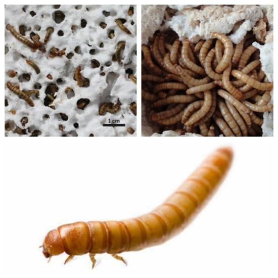 国外科研人员发现吃塑料的虫子 中国科学家两年前就找到了