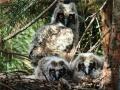 罕见长耳鸮回辽宁谈恋爱 抢夜鹭的巢生5个宝宝