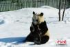 """探访中国最北熊猫馆:明星熊猫""""猫冬记"""""""