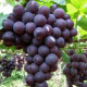 大泽山葡萄