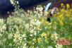 福建引进试种的彩色油菜花进入观赏期