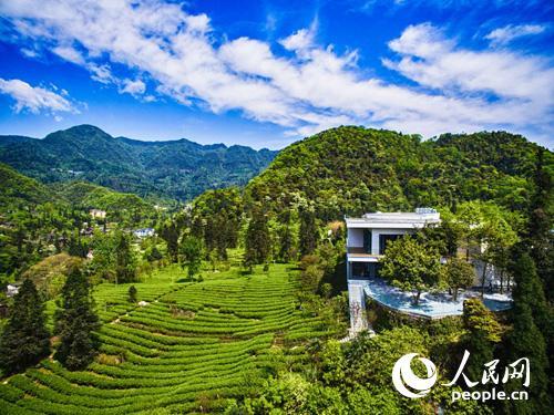 峨眉山黑水村海拔1200米的峨眉雪芽有机生态茶园茶之旅基地