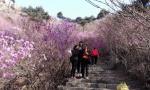 青岛大珠山杜鹃花会4月1日开幕 清明进入最佳赏花期
