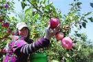 鞍山地产苹果即将上市 品质价格均好于去年
