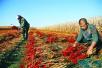 铁岭村民种植辣椒喜获丰收 纯收入达到十余万元