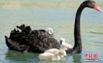 黑天鹅背宝宝戏水