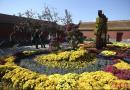全北京最美的菊花