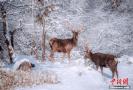 二郎山喇叭河景区雪景迷人 野生鹿雪中游玩