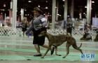 美国芝加哥的狗狗秀