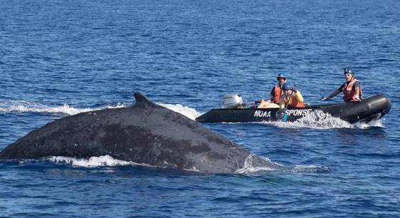 """座头鲸摆脱鱼线缠绕 出水摆鳍""""致谢""""救援者"""